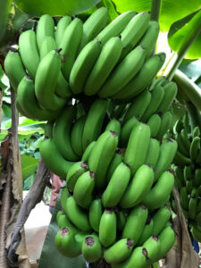 〈八事ハウジングイベント〉5/12(日)「バナナ狩りにチャレンジ!」